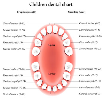 Tooth Eruption Chart - Pediatric Dentist and Orthodontics in Richboro, PA